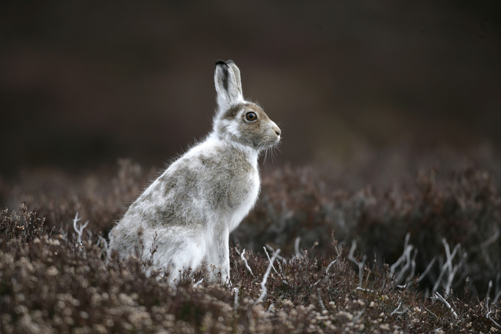 Mountain hare, Lepus timidus