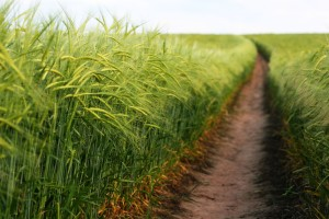 Barley Path
