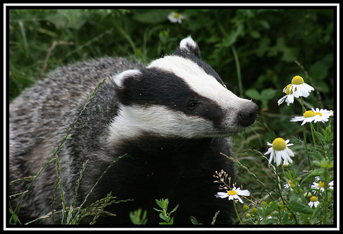 The Badger Cull – An AWP Supporter Writes