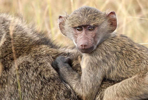 Inspired by animals in 2013: Day 9 – Kenya's wild baboons