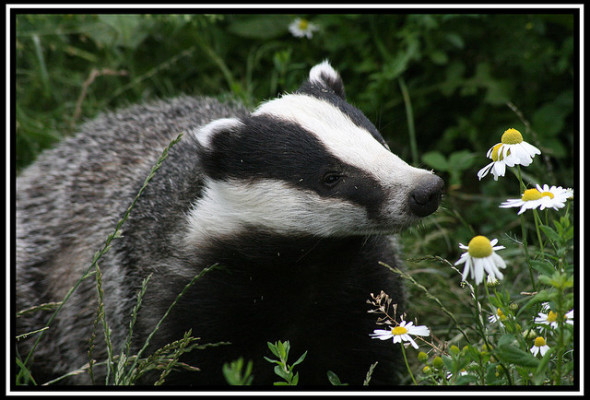 Inspired by Animals in 2013: Day 12 – Badgers and Cows