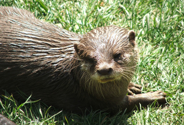 Inspired by Animals in 2013: Day 6 – Conrad the Otter