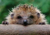 Animal Welfare Party Councillor's Hedgehogs Success Sparks National Interest